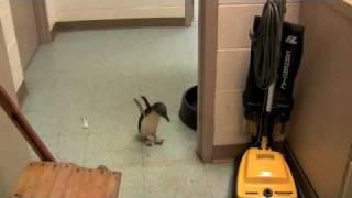Adorable Little Penguin At The Cincinnati Zoo