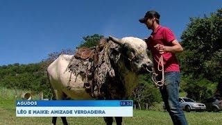 Touro adestrado de quase 300 kg faz sucesso em Agudos
