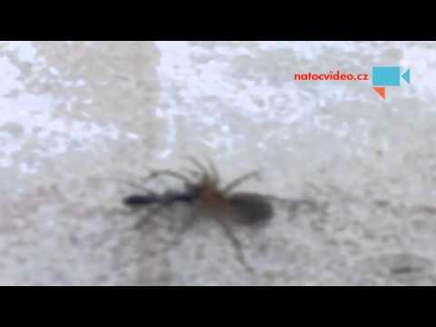brouk tahne pavouka