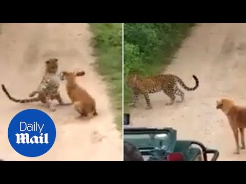 Σκύλος τα βάζει με… λεοπάρδαλη