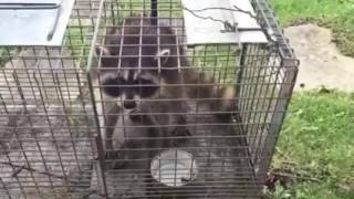 Trapper Adair Living on the Wild Side with a frisky young raccoon at Lake of the Ozark