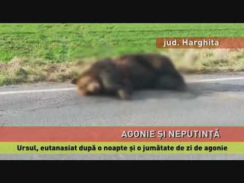 Ursul care a agonizat pe marginea drumului din județul Harghita, eutanasiat