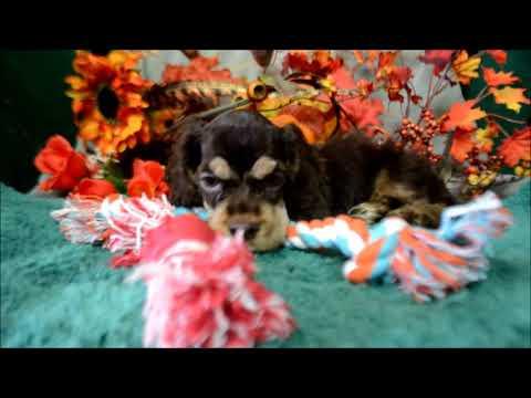 Babe AKC Chocolate Tan Male Cocker Spaniel Puppy for sale!
