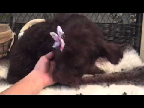 Rich chocolate color, St. Labradoodle baby girl
