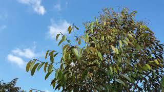 Tại sao lá sầu riêng rụng nhiều vào mùa lạnh?