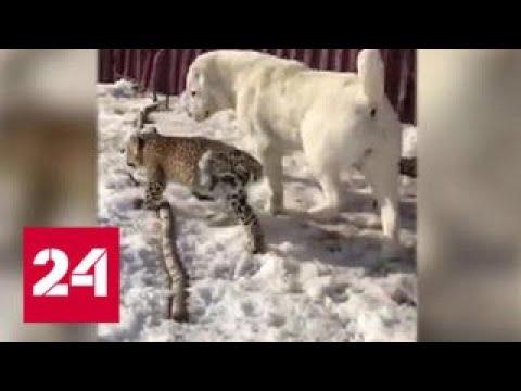 Среднеазиатская овчарка взяла под свою опеку детеныша персидского леопарда - Россия 24