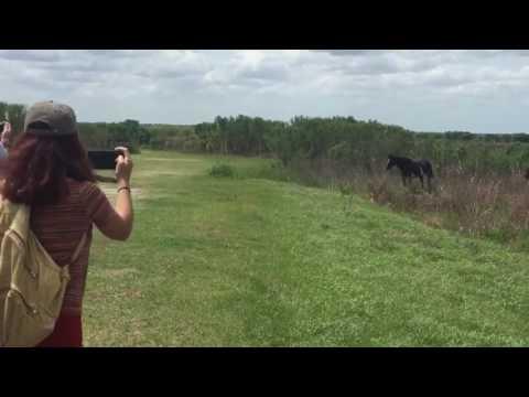 這匹黑馬突然發狂攻擊一旁靜靜的鱷魚,觀光客錄下的過程讓大家都覺得鱷魚超衰的!