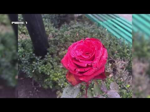 У Рівному серед зими розцвіли троянди [ВІДЕО]
