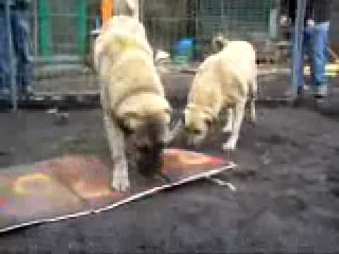 Kangal Power - kurdish kangal dogs Netherland.