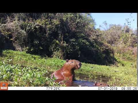 Capybara mating in the river