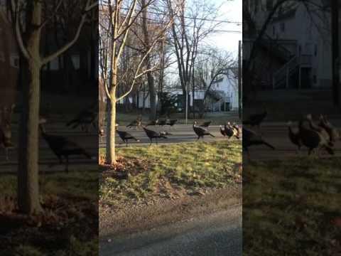 Satanic Turkeys?