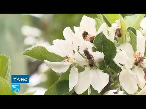 العرب اليوم - شاهد: المزارعون الفرنسيون يستأجرون النحل لتلقيح محاصيلهم