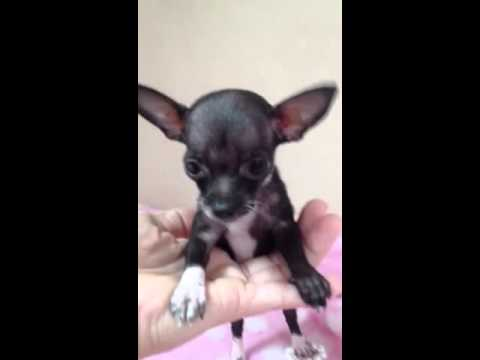 "EXTRA EXTRA mini micro teacup chihuahua puppy for sale"" pea"