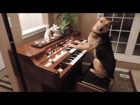 牧羊犬鋼琴彈錯音 羞愧用手遮眼:我沒臉見人了
