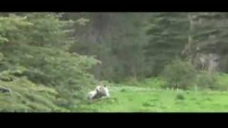 Video Raw video - 2 grizzly bears charge camera man MP3, 3GP, MP4, WEBM, AVI, FLV Mei 2017