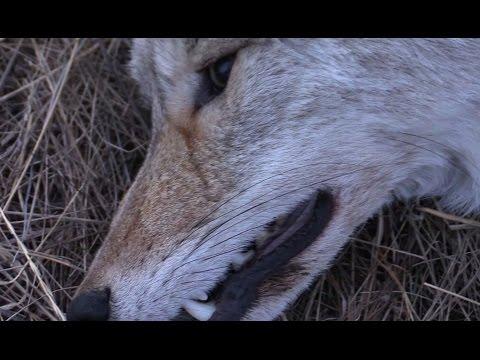 Охота на волка (Ночная Ведьмочка)