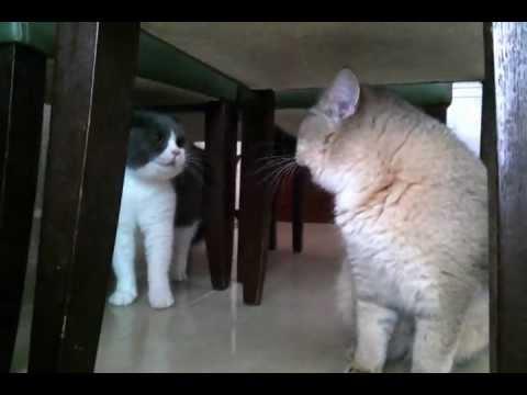 貓咪嗌大交!激烈駡戰!互不相讓!