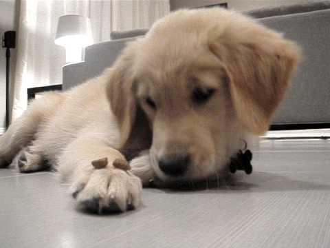 """educare un cucciolo di golden retriver al """"lascia"""""""