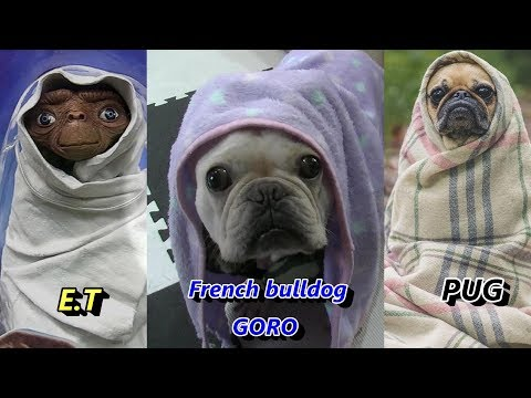 E. T? ポメラニアン&フレンチブルドッグ Pomeran …