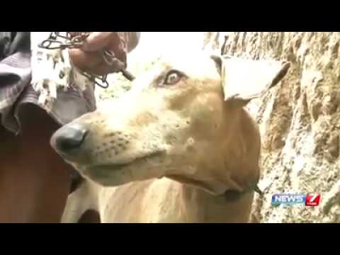 Video **Chippiparai, Kanni, Kombai** Indian native dog breeds in the verge of extinction download in MP3, 3GP, MP4, WEBM, AVI, FLV January 2017
