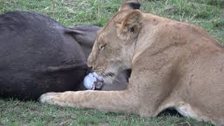 Video Lions Making a Kill   9/3/2017   Masai Mara MP3, 3GP, MP4, WEBM, AVI, FLV Desember 2018