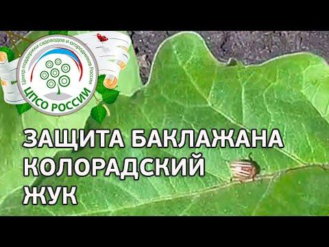 Борьба с колорадским жуком на баклажанах. Выращивание баклажанов.