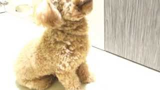 Amber Toy Poodle - Gucci's Intensive Training