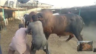 Video Belgian Blue & Brahman Bull Unloading || Samman Cattle Farm MP3, 3GP, MP4, WEBM, AVI, FLV Desember 2018