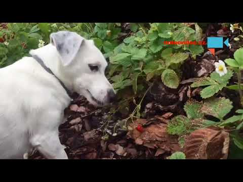 Maruška sklízí jahody