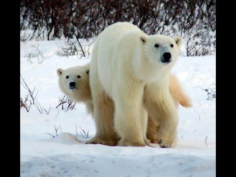 riscaldamento globale - orsi polari a rischio estinzione