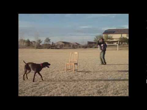 My german shorthaired pointer, Gunner,  catching frisbees and dog tricks