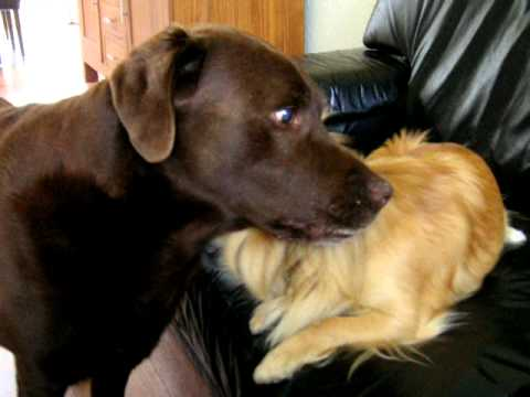 Funny Dogs Chihuahua versus Choco Labrador who is the boss??
