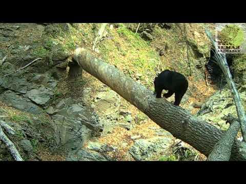 Медведь настроил фотоловушку на \Земле леопарда\ \\\\ Веаr аnd самеrа тrар in Lеораrd Lаnd - DomaVideo.Ru
