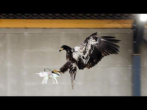 Des aigles prédateurs de drones aux Pays-Bas