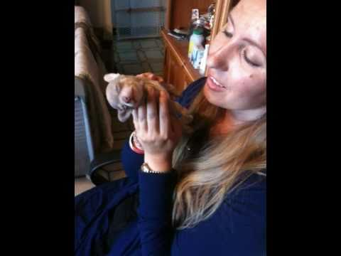 Hypnotizing 4 week old teacup chihuahua puppy – State of unconciousness meditation