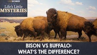 Bison vs. Buffalo: What's the Difference?