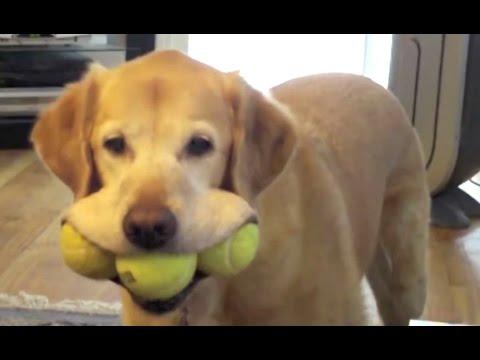labrador retriever - una raccolta dei più divertenti