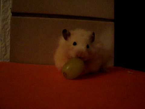 Popcorn Eating his First Grape!!!