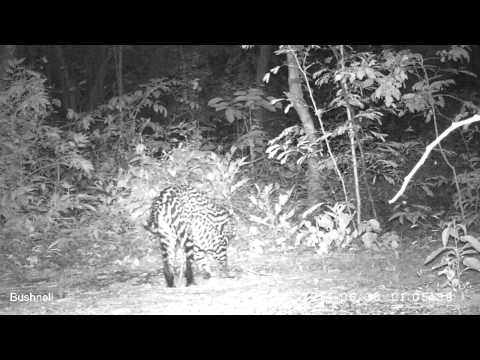 video-manigordo-leopardus-pardalis