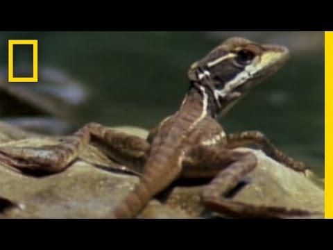 蜥蜴為了逃命, 激發無限可能的水上飄!
