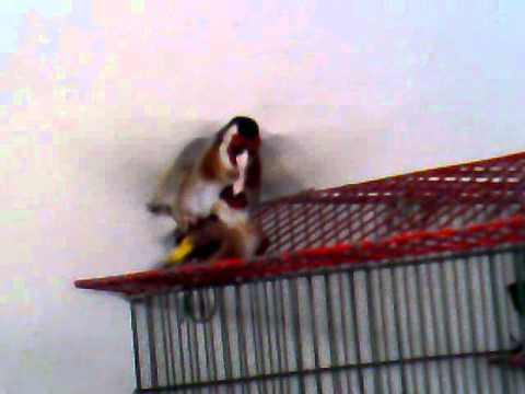 accouplement my goldfinch out cage