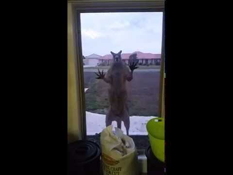 Kangaroos are things of nightmares.