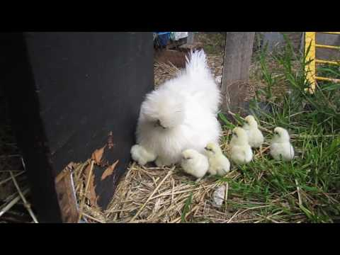 Video 9 Silkie chicks hide under one hen. download in MP3, 3GP, MP4, WEBM, AVI, FLV January 2017
