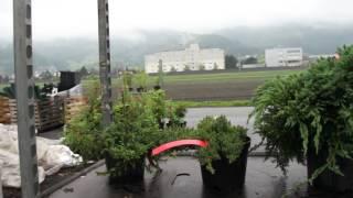 #665 Kompakt wachsende Wacholdersorten - Resistent gegen Birnengitterrost