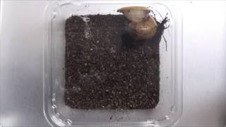 発掘!イグ・ノーベル賞(9)北海道大学−殻で敵を殴るカタツムリ(動画あり)