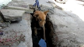 When we got a call on our helpline to rescue an injured street dog we found her emaciated and collapsed in a sewage drain. She had a massive wound on the side of her neck infested with maggots and she was too sick to get out of the sewage water she had fallen in. She was utterly hopeless and had we not been able to rescue her just then, she would have certainly died right there in that drain, possibly within just another hour or two. We rushed her back to Animal Aid Unlimited's shelter and began her intensive treatment which would continue over the next 6 weeks. Watch Shanti's amazing recovery and please donate to help save injured street animals in India : http://www.animalaidunlimited.org/how-to-help/donate
