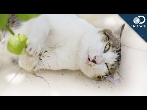 High - If you've ever fed a cat catnip, you know that they go crazy for it! What are the effects of catnip on your feline friend? Tara explains. Read More: How does catnip work its magic on cats?...