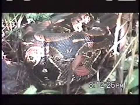 Anaconda, Boa Constrictor, Caiman, Earth Sessions Amazon