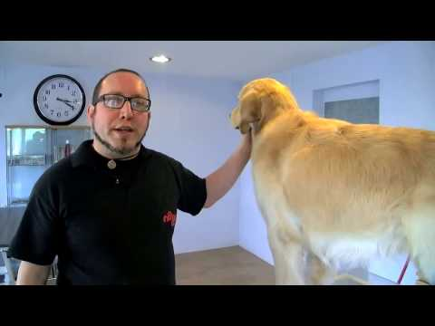 golden retriever - tutorial toelettatura