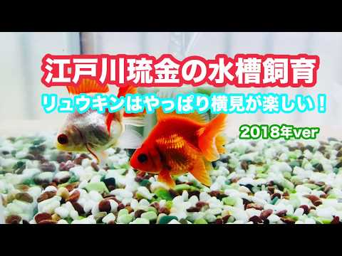 動画で金魚『江戸川琉金の水槽飼育 リュウキンはやっぱり横見が楽しい! 2018年ver』H30.1.23 Goldfish movie from Japan